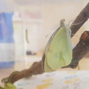 De eerste vlinder is een feit!
